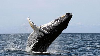 Las Ballenas Jorobadas De La Península De Samaná Las Terrenas Live